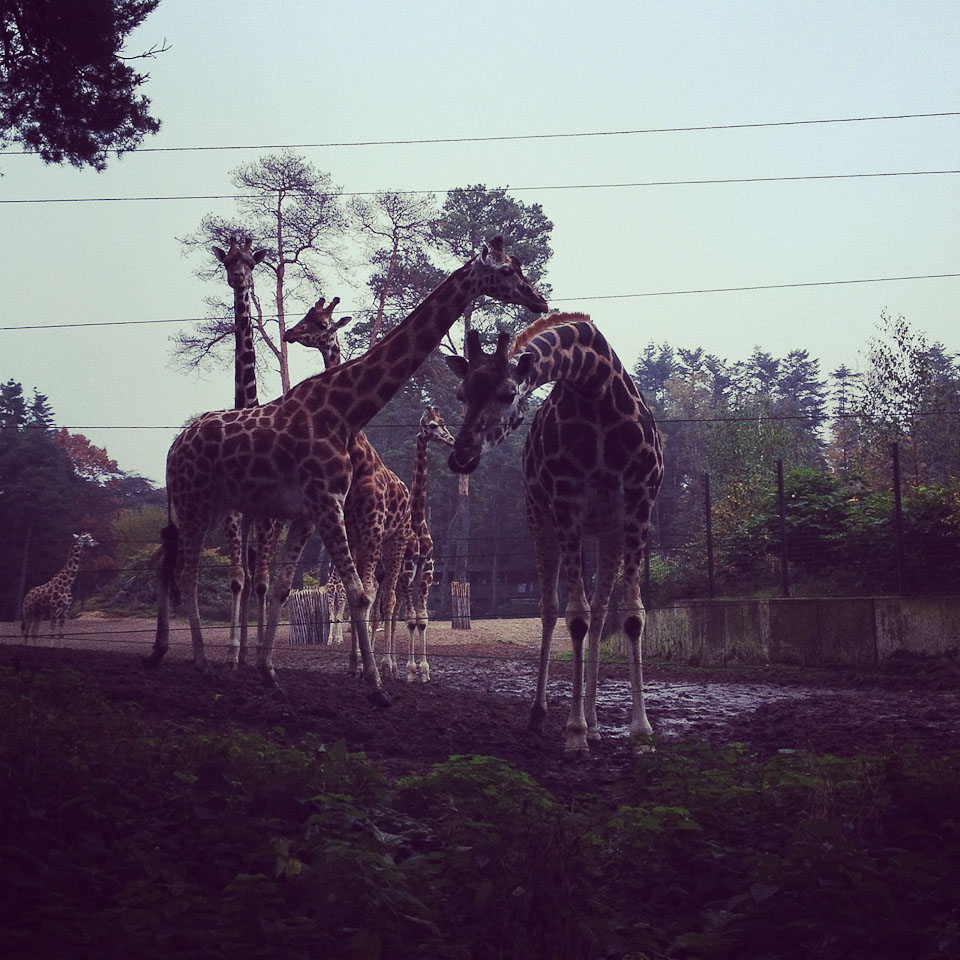 Die Giraffen in Burgers Zoo in Holland