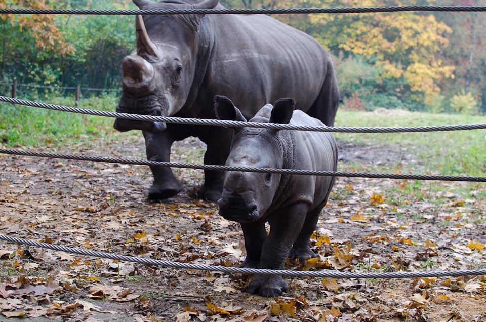 Nashornfamilie Burgers Zoo Holland