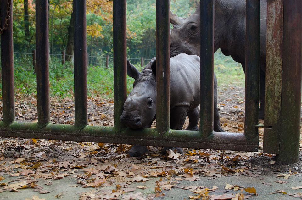 ein Nashornbaby aus dem Burgers Zoo in Holland