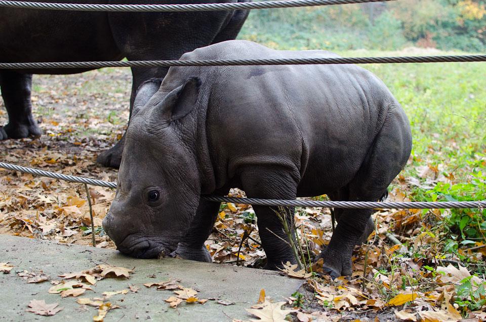 Nashornbaby Vince aus dem Burgers' Zoo in Holland