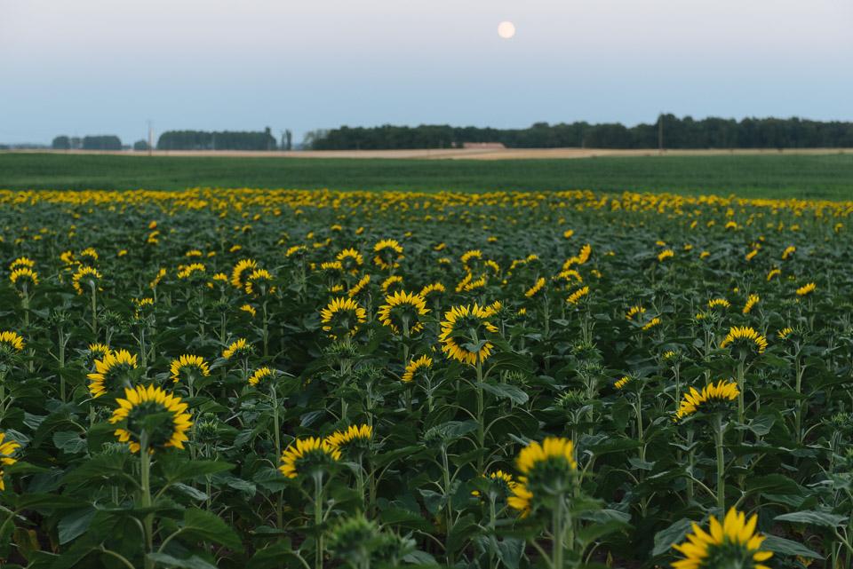 Ferien in Frankreich, Sonnenblumenfelder in Pitou Charentes